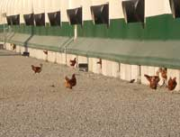 chickens-in-yard-3