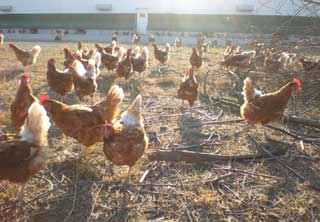 chickens_in_yard