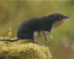 water-shrew